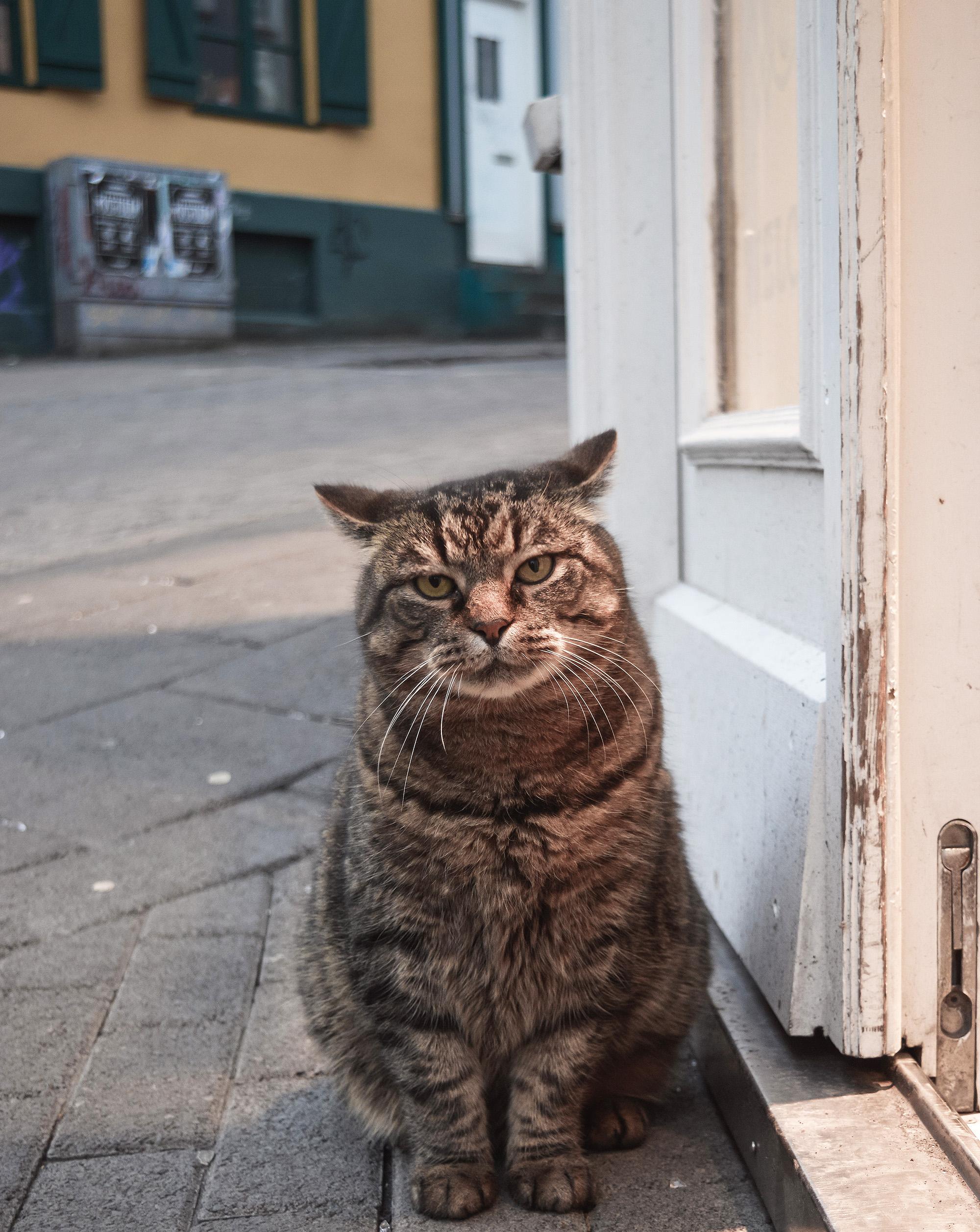 Icelandic cat