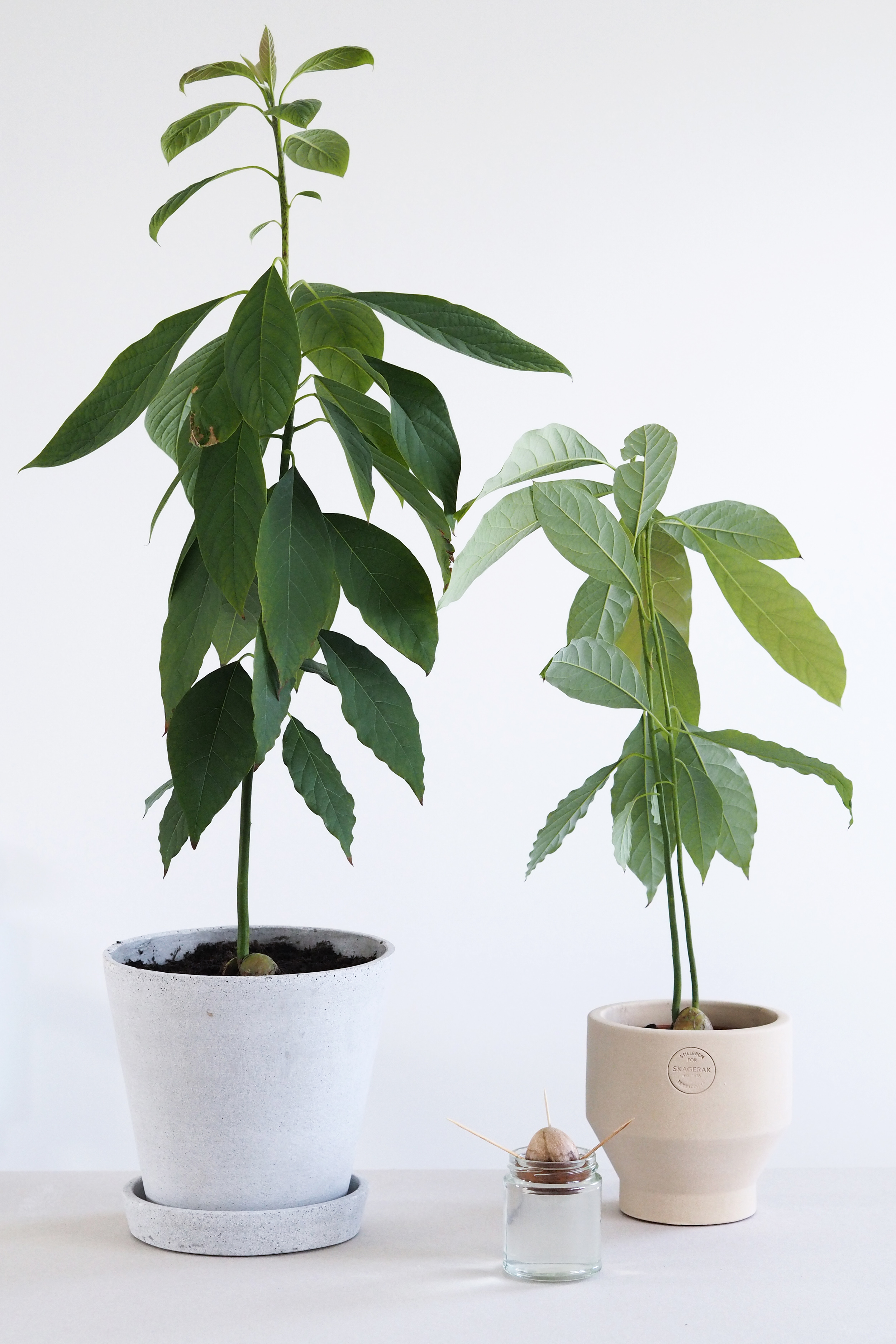 How to grow an avocado plant