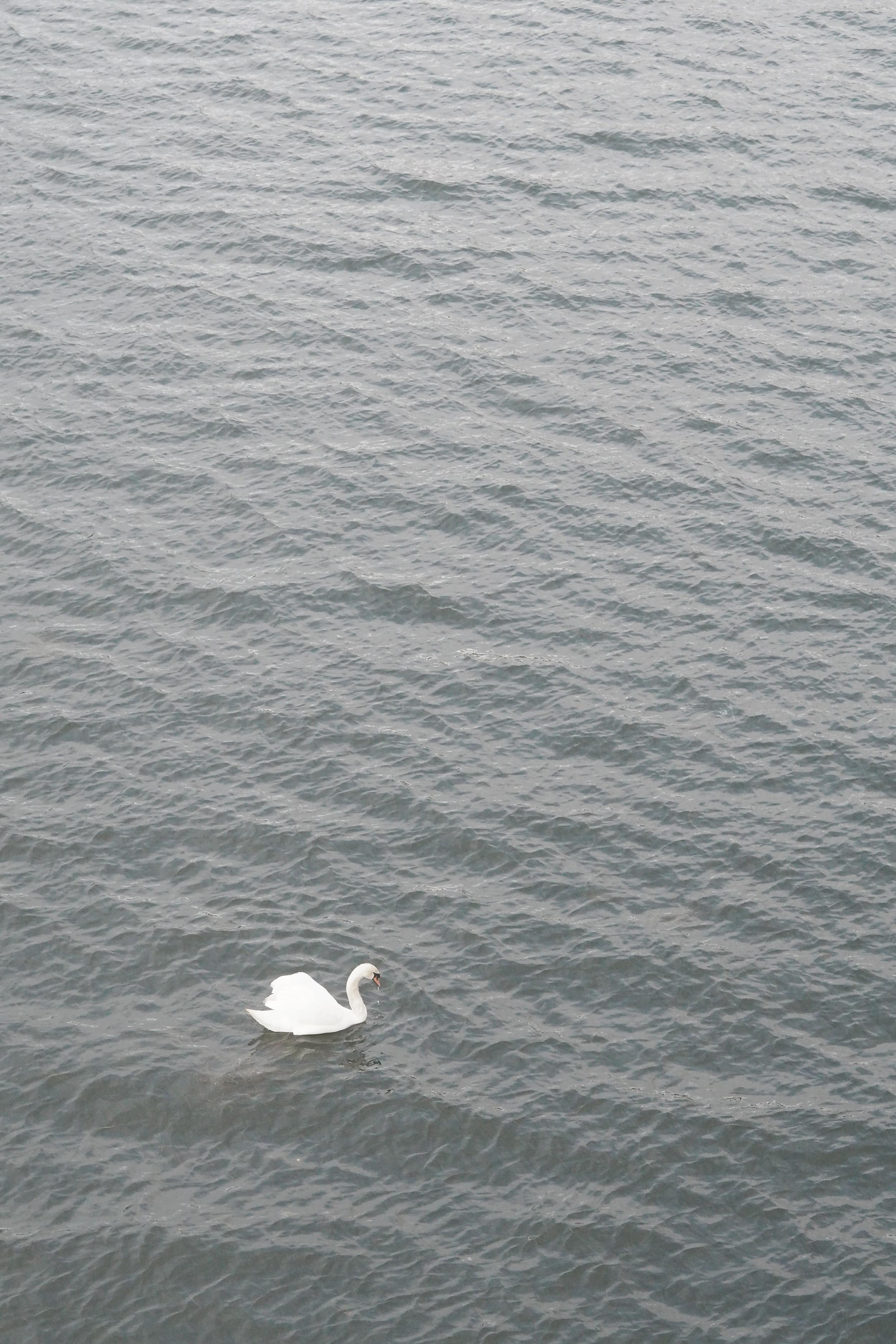 A sea swan in Copenhagen.