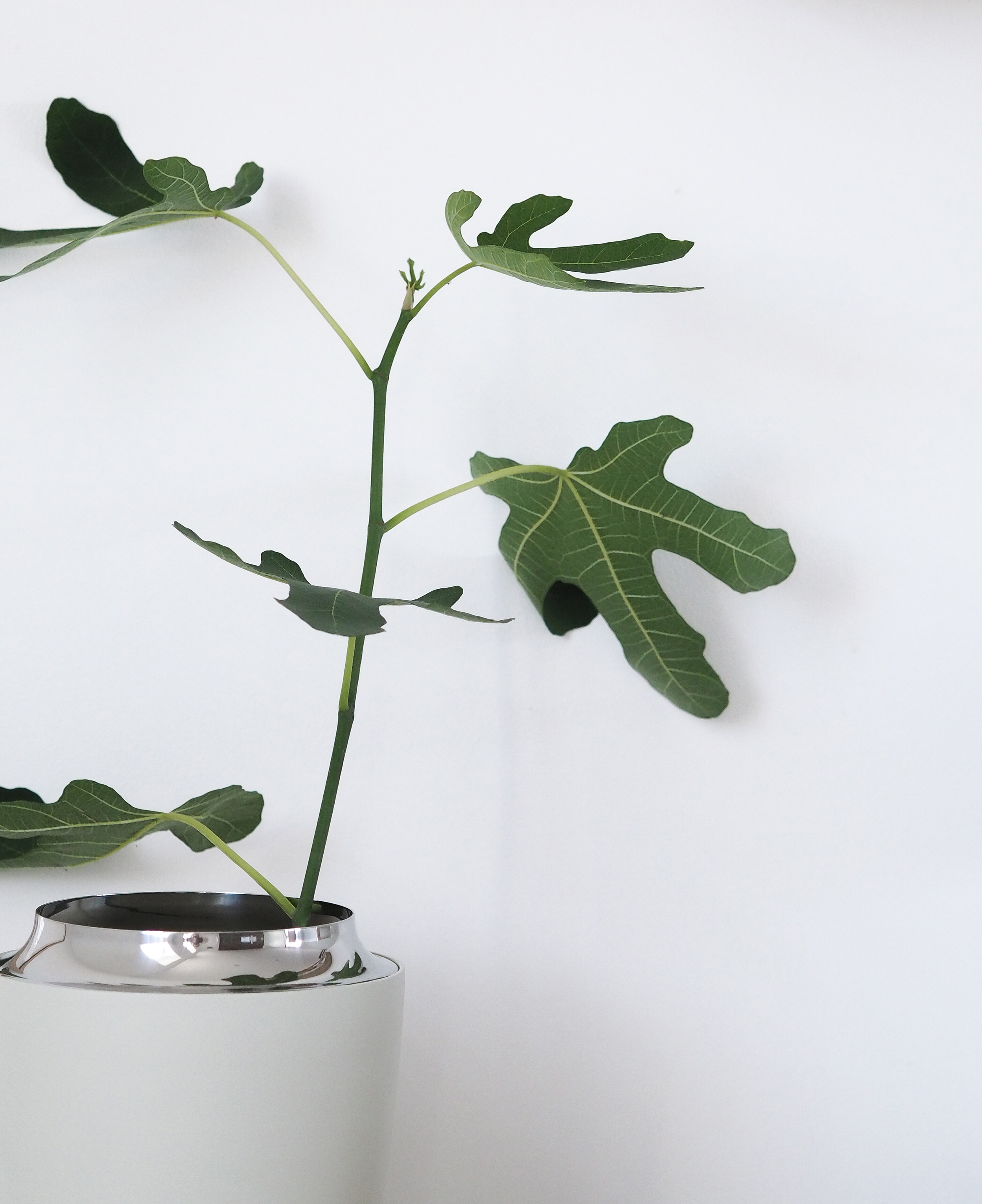 A fresh new start, Moving to Copenhagen. New fig tree